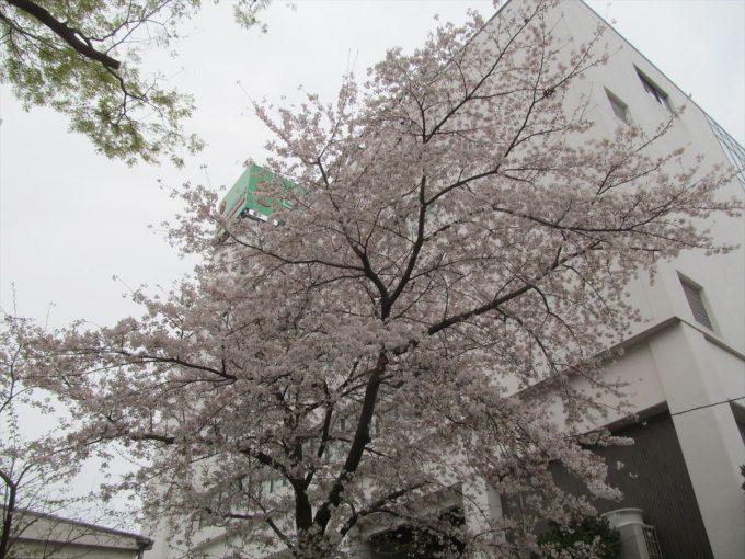 setagaya-cherry-full-bloom-20210328-012