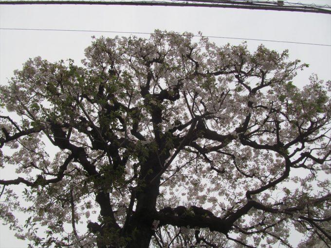 setagaya-cherry-full-bloom-20210328-013